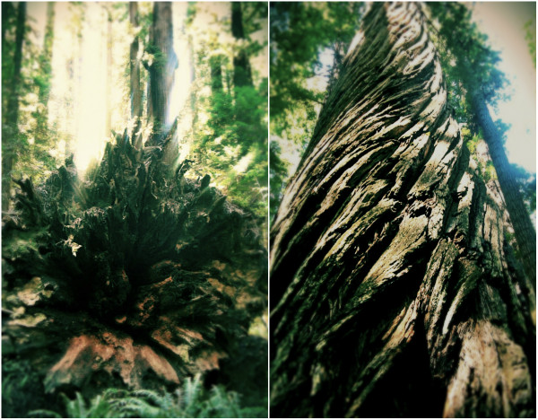 Finding Latitude. The Redwoods | artsy forager #travel #nature #photography #findinglatitude #redwoods